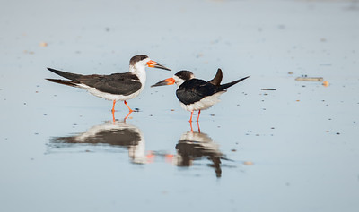 Black Skimmers, with reflections Fernandina Beach, Florida  12-30-12