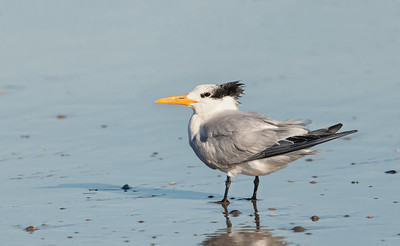 Royal Tern, adult in non-breeding plumage Fernandina Beach, Florida  12-30-12