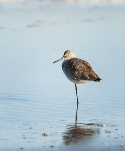 Willet, adult nonbreeding plumage, standing on one leg Fernandina Beach, Florida  12-30-12