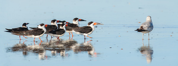Black Skimmer gang with Ring-billed Gull Fernandina Beach, Florida  12-30-12