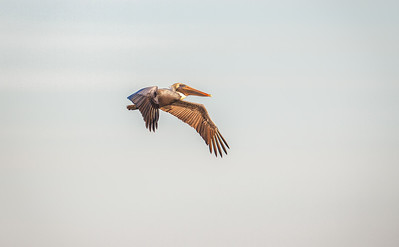 Brown Pelican in flight Fernandina Beach, Florida  12-30-12