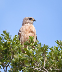 Red-shouldered Hawk, pale Florida adult Hendry County, Florida 3/30/12