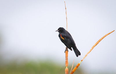 Male Red-winged Blackbird, with median coverts visible Hendry County, Florida 3/30/12