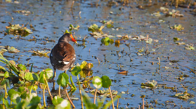 Common Gallinule Storm Water Treatment Area 5 Hendry County,  Florida 3/28/12
