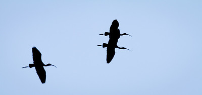 Ibis Trio in flight silhouette Storm Water Treatment Area 5 Hendry County,  Florida 3/28/12