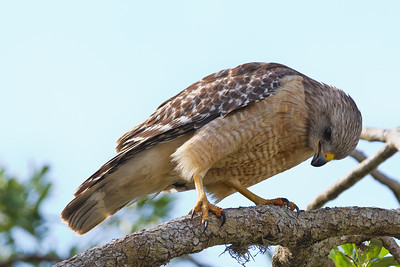 Red-shouldered Hawk, pale Florida adult Hendry County, Florida 3/29/12