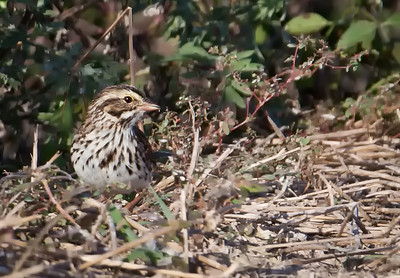 Savannah Sparrow Storm Water Treatment Area 5 Hendry County, Florida 3/28/12