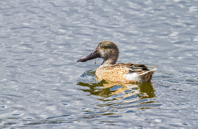 Northern Shoveler, male in fall plumage Henderson Bird Viewing Preserve Henderon, Nevada  10-12-12