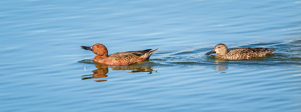 Cinnamon Teal pair Henderson Bird Viewing Preserve Henderon, Nevada  10-12-12