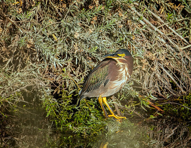 Green Heron, adult Henderson Bird Viewing Preserve Henderon, Nevada  10-13-12