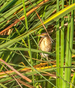 Least Bittern, adult female Henderson Bird Viewing Preserve Henderon, Nevada  10-12-12