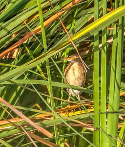 Least Bittern, adult female Henderson Bird Viewing Preserve Henderon, Nevada  10-12-12