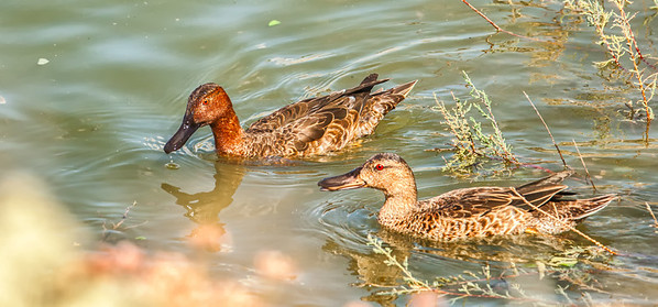 Cinnamon Teal pair, breeding male with non-breeding male Henderson Bird Viewing Preserve Henderon, Nevada  10-12-12