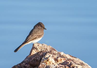 Black Phoebe Henderson Bird Viewing Preserve Henderon, Nevada  10-12-12
