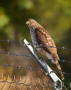 Cooper's Hawk, juvenile Henderson Bird Viewing Preserve Henderon, Nevada  10-12-12