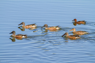 Flock of Northern Shovelers swimming Henderson Bird Viewing Preserve Henderon, Nevada  10-13-12