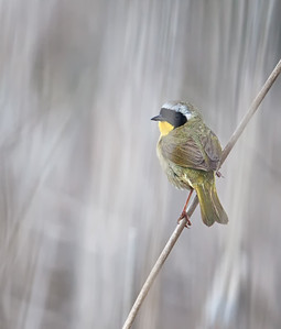 Common Yellowthroat. adult male in cattails Marsh at Point Pelee NP, 5/10/12
