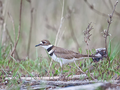 Killdeer in habitat Magee Marsh Oak Harbor, Ohio 5/9/12