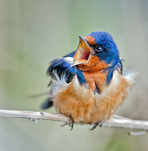 Barn Swallow, adult male
