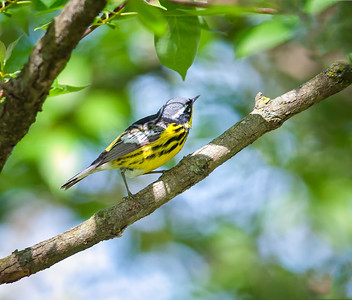 Male Magnolia Warbler Magee Marsh Boardwalk Oak Harbor, Ohio  5/11/12