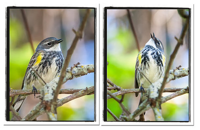Yellow-rumped Warbler (Myrtle), male singing collage Magee Marsh Boardwalk Oak Harbor, Ohio  5/11/12