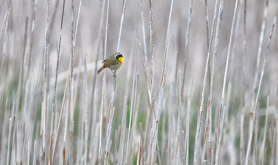 Common Yellowthroat, adult male in cattail habitat