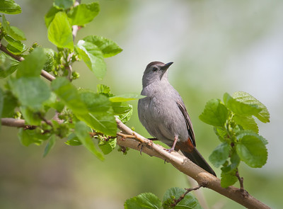 Gray Catbird, in look-back pose Magee Marsh Oak Harbor, Ohio 5/9/12