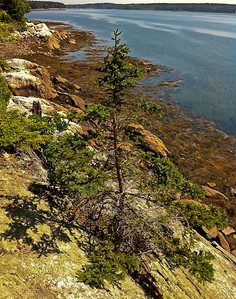 Tree growing in bedrock Hog Island, Maine 7/17/11