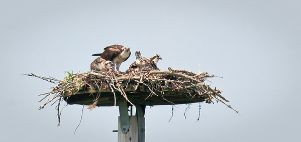Osprey nest-adult with three chicks Damariscotta River Association Great Salt Bay Farm Nature Preserve Damariscotta, Maine 7/19/11