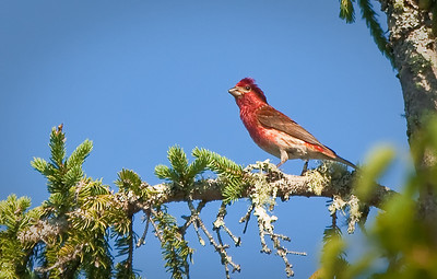 Male Purple Finch, in conifer Hog Island Audubon Camp Muscongus Bay, ME 7/15/11