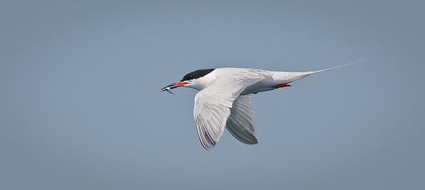 Common Tern, in flight with prey Muscongus Bay, ME 7/16/11