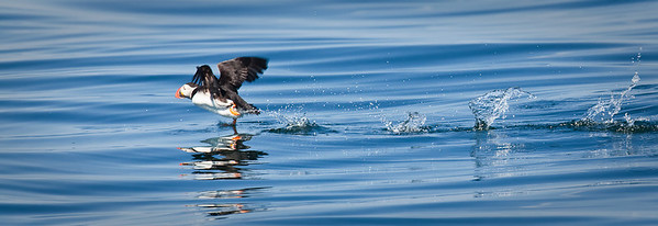 Atlantic Puffin, running on water Muscongus Bay, ME 7/16/11