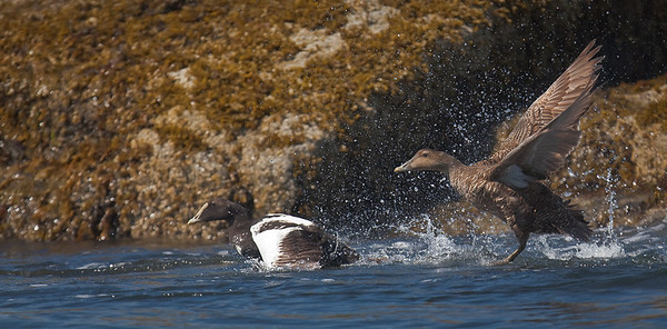 Common Eider, male and female on take-off Muscongus Bay, ME 7/16/11