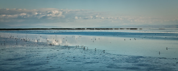 American Avocets in late afternoon light