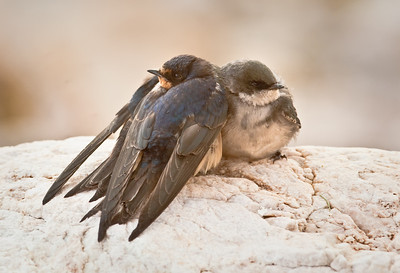 Barn Swallow and Bank Swallow huddled