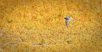 Bank Swallow in flight