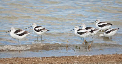 American Avocet, non-breeding adults