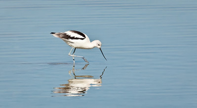 American Avocet, non-breeding adult