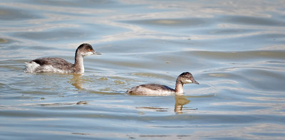 Eared Grebes, adult and juvenile  non-breeding plumage The Great Salt Lake, Utah 10/8/11