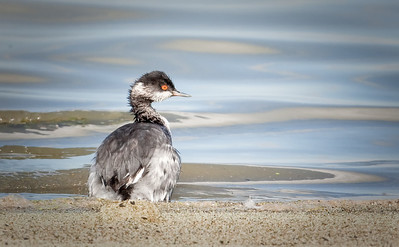 Eared Grebes, adult