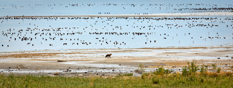 Coyote walking shoreline