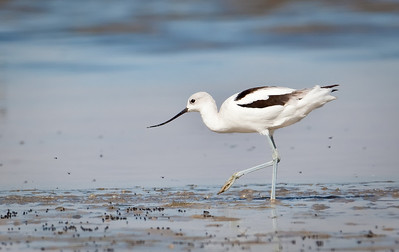 American Avocet, non-breeding adult with brine flies