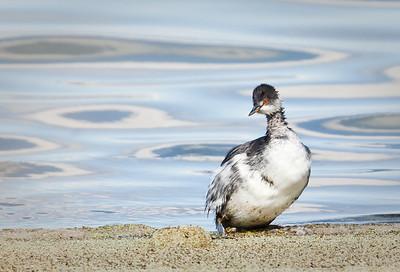 Eared Grebes, adult   non-breeding plumage The Great Salt Lake, Utah 10/8/11