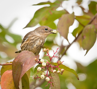 Immature Yellow-rumped Warbler, with berry Eagle Creek Park Indianapolis, Indiana 9/18/11