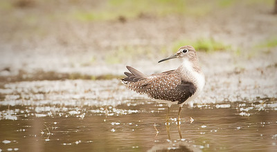Solitary Sandpiper, look back Eagle Creek Park Indianapolis, IN 9-5-11