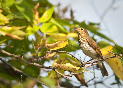 Swainson's Thrush Eagle Creek Park Indianapolis, IN 9-11-11