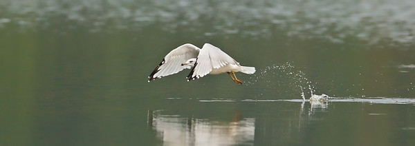 Ring-billed Gull, water take-off 2 Eagle Creek Park Indianapolis, Indiana 9/11/11