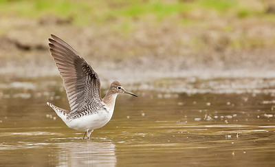Solitary Sandpiper, wings up Eagle Creek Park Indianapolis, IN 9-5-11
