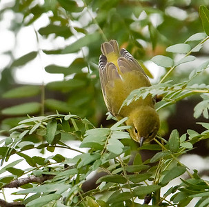 Female 1st year Wilson's Warbler, looking down Eagle Creek Park Indianapolis, Indiana 9/18/11