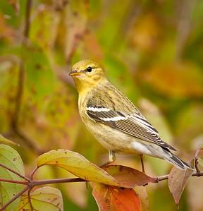 Blackpoll Warbler, fall plumage Eagle Creek Park Indianapolis, Indiana 9/18/11